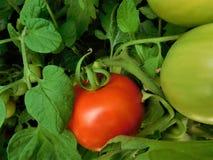 O tomate imagens de stock royalty free