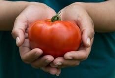 O tomate maduro Imagem de Stock Royalty Free