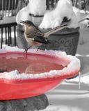 O tordo dos remedos senta-se na banheira de passarinho exterior no inverno Fotos de Stock