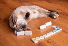 O tortie adorável aponta o gato Siamese que joga dominós foto de stock
