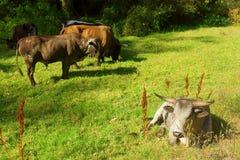 O touro branco de Nguni encontra-se no pasto foto de stock royalty free