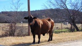 O touro marrom imagens de stock