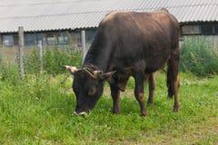 O touro na exploração agrícola Foto de Stock