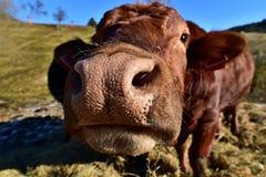 O touro novo Fotografia de Stock