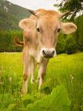 O touro novo Foto de Stock