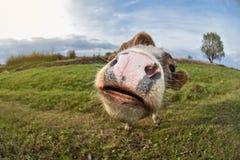 O touro novo está sorrindo no pasto, fim acima Paisagem e por do sol bonitos Imagem de Stock