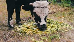 O touro preto e branco novo come uma alimentação que se encontre na terra Bull que pasta em um prado vídeos de arquivo