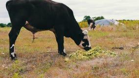 O touro preto e branco novo come uma alimentação que se encontre na terra Bull que pasta em um prado video estoque