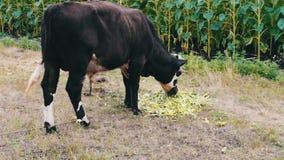 O touro preto e branco novo come uma alimentação que se encontre na terra Bull que pasta em um prado filme