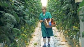 O trabalhador da estufa escolhe tomates vermelhos O trabalhador da estufa recolhe tomates maduros e põe-nos em uma caixa vídeos de arquivo
