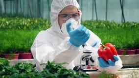 O trabalhador das hortaliças está enchendo a pimenta vermelha com o líquido químico vídeos de arquivo