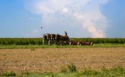 O trabalhador de Amish que colhe sua colheita multa pássaros fotografia de stock