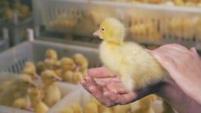 O trabalhador do galinheiro está afagando um patinho do bebê filme