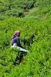 O trabalhador fêmea da plantação colhe o chá em campos Cameron Highlands Malaysia da colheita Foto de Stock Royalty Free