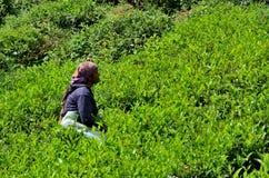 O trabalhador fêmea da plantação colhe o chá em campos Cameron Highlands Malaysia da colheita Imagens de Stock Royalty Free