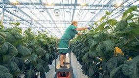 O trabalhador fêmea recolhe vegetais, usando o equipamento especial em uma estufa 4K vídeos de arquivo