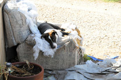 O trabalho de um cachorrinho de jogo duro do bebê de cinco meses Foto de Stock