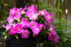 O trabalho magnífico dos jardineiro amadores faz seus petúnias brilhar no jardim imagem de stock royalty free