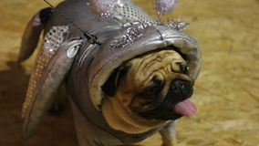 O traje feito a mão do cão surpreendente, terno vestindo do pug da criatura cósmica de prata vídeos de arquivo
