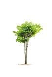 O trajeto de grampeamento isolou a árvore fresca do arbusto do tamanho médio Foto de Stock