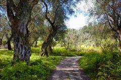 O trajeto do turista atravessa um bosque verde-oliva em Corfu, Grécia imagem de stock royalty free