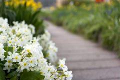 O trajeto entre a mola floresce a prímula, canteiro de flores, plantas Imagem de Stock Royalty Free