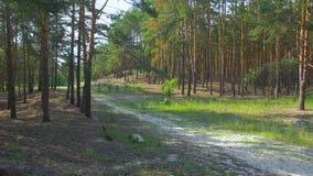O trajeto na floresta video estoque