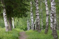 O trajeto no bosque do vidoeiro Foto de Stock