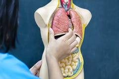 O tratamento médico dos povos, captura o modelo do pulmão lear fotografia de stock