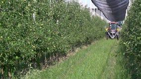 O trator vermelho pequeno está conduzindo entre as fileiras de árvores de maçã no pomar filme