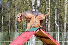 O treinamento de Airdaleat na agilidade do cão Imagem de Stock