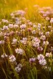 O trevo da flor floresce em um prado com luz brilhante do por do sol Imagem de Stock