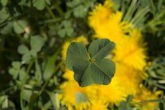 O trevo de quatro folhas é uma variação rara do trevo comum da três-folha Fotografia de Stock