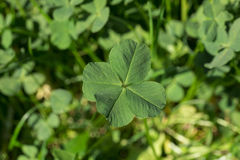 O trevo de quatro folhas é uma variação rara do trevo comum da três-folha Imagem de Stock Royalty Free