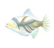 O Triggerfish exótico Fotografia de Stock Royalty Free