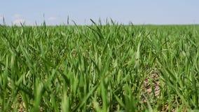 O trigo cresce no campo contra o céu azul filme