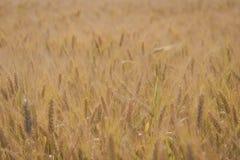 O trigo do close up arquivou imagens de stock royalty free