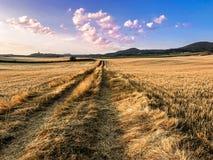 O trigo do ouro voou o panorama com a árvore no por do sol fotografia de stock
