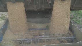 O trigo está derramando no eixo helicoidal da grão para transportá-lo ao lugar do armazenamento vídeos de arquivo