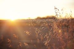 O trigo/grões em uma lente do por do sol da pradaria alarga-se Fotos de Stock Royalty Free
