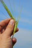 O trigo pode Imagens de Stock