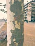 O tronco da árvore com casca manchada imagem de stock royalty free