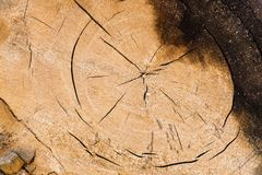 O tronco de árvore cortou com anéis anuais e grão de madeira Fotos de Stock Royalty Free