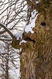 O tronco de árvore olha como a cara fotos de stock royalty free