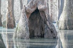 O tronco de árvore para fora tornado ôco submergiu na lagoa do blackwater Fotografia de Stock Royalty Free