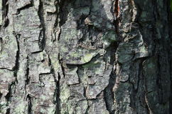 O tronco de árvore velho do longoz Foto de Stock