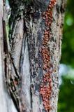O tronco de um álamo velho transformou-se um caminho para mil erros pequenos O exército o firebug vai acima do tronco foto de stock
