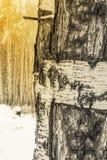 O tronco de um vidoeiro com a casca de descascamento branca imagens de stock royalty free