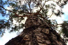 O tronco de umas coníferas Fotografia de Stock