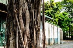 O tronco do banyan Imagem de Stock